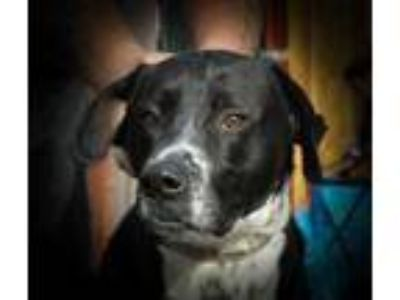 Adopt Gunner a Black Great Dane / Labrador Retriever / Mixed dog in Pendleton