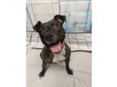 Adopt Birdie a Terrier (Unknown Type, Small) / Pit Bull Terrier / Mixed dog in