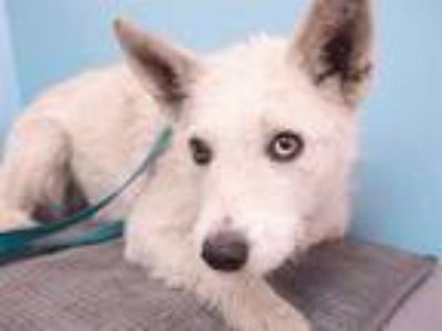 Adopt Gabby a Wirehaired Terrier, Mixed Breed