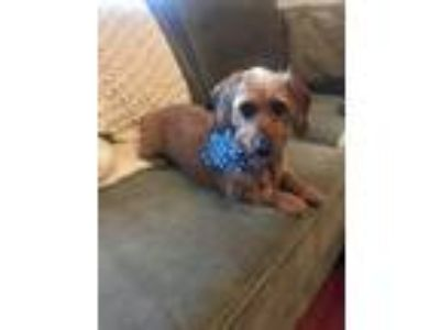 Adopt Missy a Tan/Yellow/Fawn Dachshund dog in Bowmansville, NY (25661534)