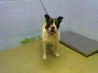 Adopt A497755 a Boston Terrier, Boxer