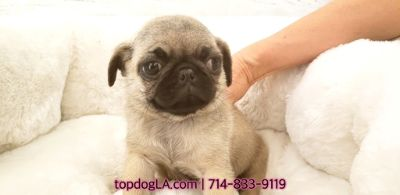 Pug PUPPY FOR SALE ADN-74884 - Pug Female Pugsy