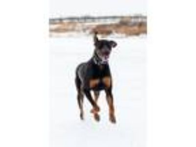 Adopt Hercules a Black - with Tan, Yellow or Fawn Doberman Pinscher / Mixed dog