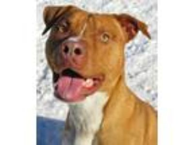 Adopt 17-735 Prince a Pit Bull Terrier