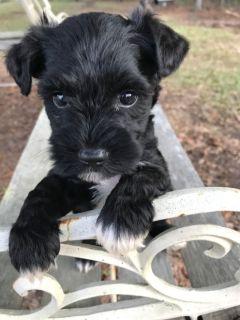 CKC Mini Schnauzer Pups