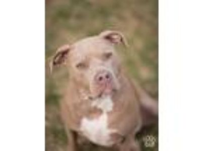 Adopt Amber a Tan/Yellow/Fawn American Pit Bull Terrier / Pit Bull Terrier /