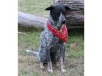 Adopt Scout a Brindle Australian Shepherd / Blue Heeler / Mixed dog in