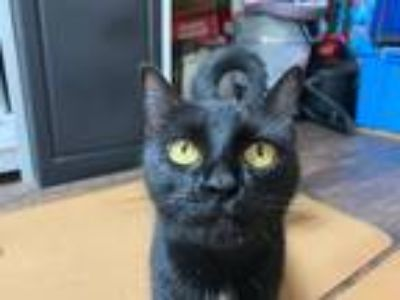 Adopt Biscuit a Black (Mostly) Domestic Shorthair (short coat) cat in Sullivan
