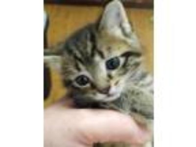 Adopt Dobby a Spotted Tabby/Leopard Spotted Domestic Shorthair / Mixed cat in