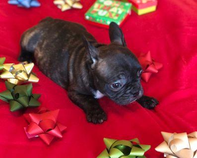 French Bulldog PUPPY FOR SALE ADN-108347 - French Bulldog Puppy