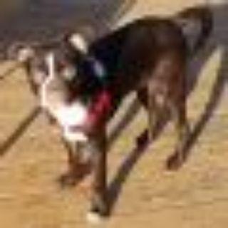 "Arthur Fonzarelli ""Fonzi"" Boston Terrier - Pug Dog"