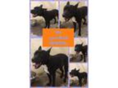 Adopt Dino a Pit Bull Terrier, Mixed Breed