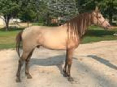 Andalusian Bred in Spain For Sale