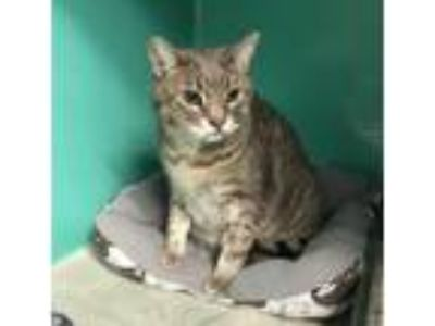 Adopt Avail 6/21 Momo 11year old male a Domestic Short Hair