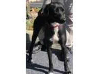 Adopt Sugar a Labrador Retriever, Pointer