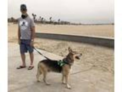 Adopt Flynn a German Shepherd Dog / Mixed dog in Downey, CA (24198057)