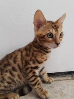 astute Bengal Kittens available