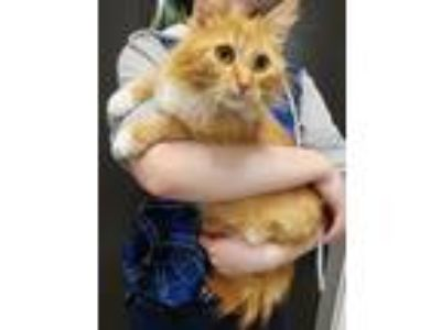 Adopt Kitty Purry a Orange or Red (Mostly) Domestic Longhair / Mixed cat in