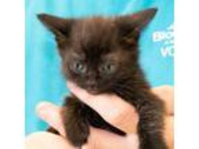 Adopt Sav a All Black Domestic Shorthair / Mixed (short coat) cat in Maryville