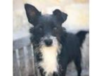 Adopt Hercules a Black Schnauzer (Miniature) / Terrier (Unknown Type