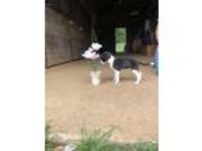 Adopt Bhindi a Pit Bull Terrier, Border Collie
