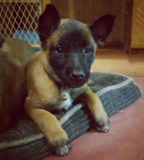 Belgian Malinois PUPPY FOR SALE ADN-101743 - Malinois Puppys
