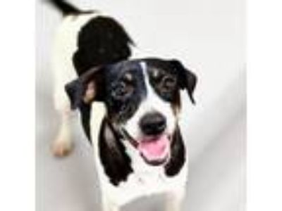 Adopt Leah a Rat Terrier, Mixed Breed