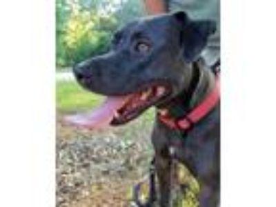 Adopt Happy a Labrador Retriever, Terrier