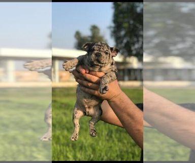 French Bulldog PUPPY FOR SALE ADN-128662 - French Bulldog puppy boy merle