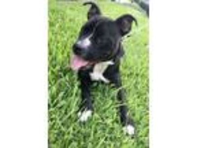 Adopt Vinny a American Staffordshire Terrier, Pit Bull Terrier