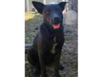 Adopt Hayhay a Black - with White Labrador Retriever / Blue Heeler / Mixed dog