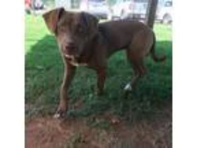 Adopt a Brown/Chocolate - with White Labrador Retriever / Mixed dog in