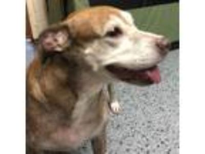 Adopt Jersey Girl a Brown/Chocolate - with White Hound (Unknown Type) / Mixed