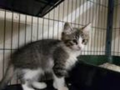 Adopt TASSLE a Gray, Blue or Silver Tabby Domestic Longhair / Mixed (long coat)