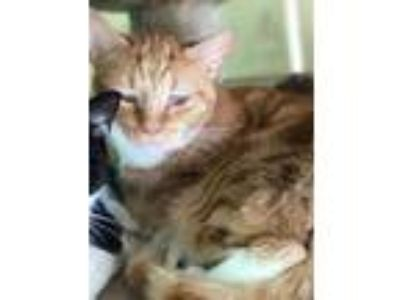 Adopt Gage a Orange or Red Domestic Mediumhair / Domestic Shorthair / Mixed cat