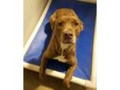 Adopt SUNSHINE a Brown/Chocolate American Pit Bull Terrier / Mixed dog in