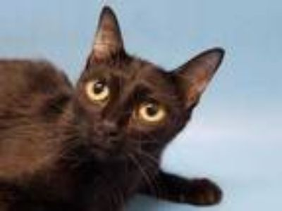 Adopt Arla a All Black Domestic Shorthair / Mixed cat in Golden Valley