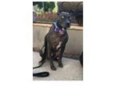 Adopt Spikey a Black American Pit Bull Terrier / Whippet / Mixed dog in
