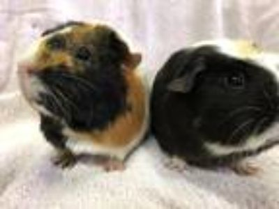Adopt Ridgeway (Bonded to Fontenay) a Black Guinea Pig small animal in Imperial