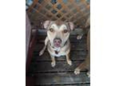 Adopt Baron a Tan/Yellow/Fawn Shepherd (Unknown Type) / Terrier (Unknown Type