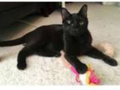 Adopt Plissken a All Black Domestic Shorthair (short coat) cat in Merrifield