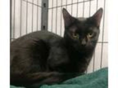 Adopt Tierra a Domestic Short Hair