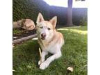 Adopt Myra a Red/Golden/Orange/Chestnut - with White Siberian Husky / Mixed dog
