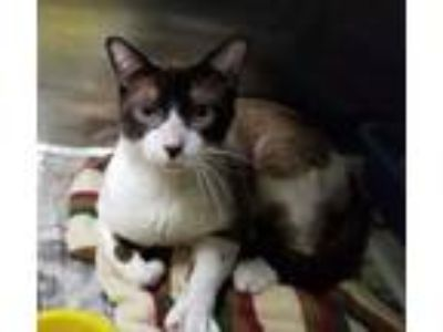 Adopt Sunshine a Tan or Fawn Siamese / Domestic Shorthair / Mixed cat in