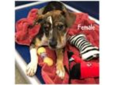 Adopt Avail 5/23 Pen 17 Rat Terrier /Cattle Dog x 7 mos a Fox Terrier