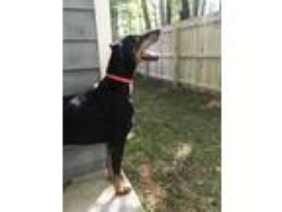Adopt Dobbs a Black - with Tan, Yellow or Fawn Doberman Pinscher / Mixed dog in