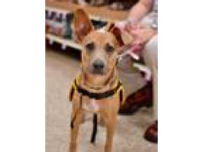 Adopt Shimmer a Hound (Unknown Type) / Jack Russell Terrier / Mixed dog in