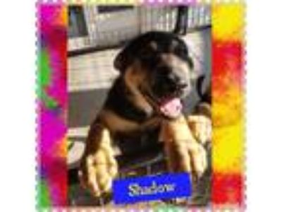 Adopt Shadow a Black - with Tan, Yellow or Fawn German Shepherd Dog / Mixed dog