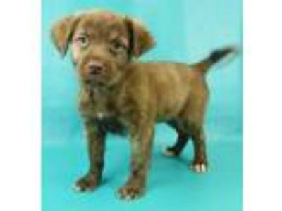 Adopt Yanna a Brown/Chocolate Spaniel (Unknown Type) / Mixed dog in Morton