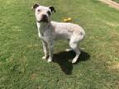 Adopt A089413 a German Shorthaired Pointer, Catahoula Leopard Dog